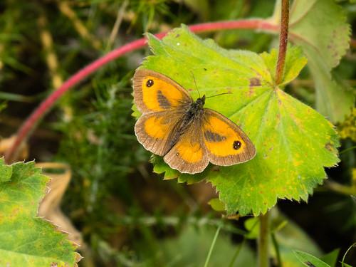 Gatekepper butterfly