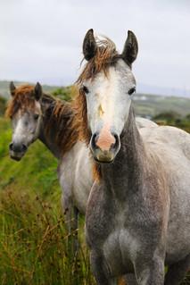 Irish horses | by martie1swart