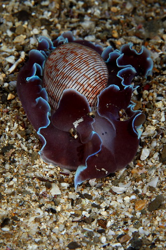 Hydatina physis 密紋泡螺