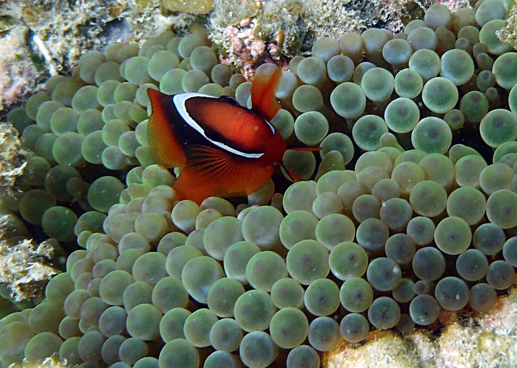 Happy clown fish | Snorkeling off White Sand Island | Frank Starmer | Flickr