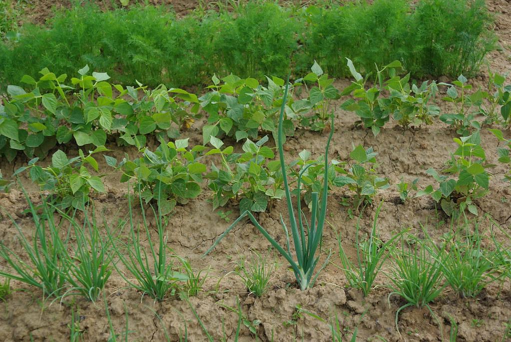 Ogród warzywny / Vegetable patch