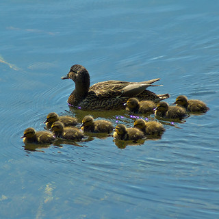 Duck Family | by Rum Bucolic Ape