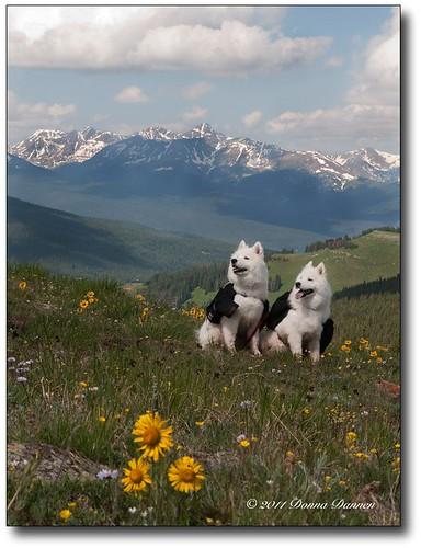 colorado shrineridge samoyeds alpinesunflower shrinepass holycrosswilderness hymenoxysgrandiflora shrinemountain mtoftheholycross packdogs