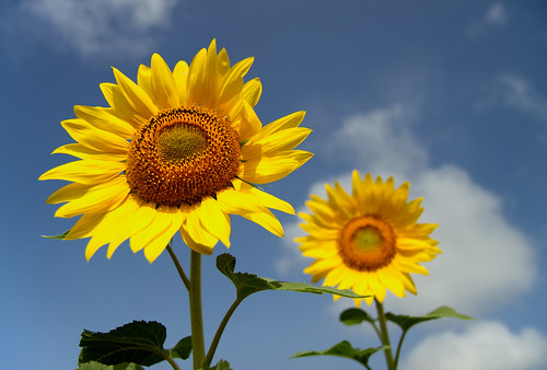 india flower bokeh bluesky sunflowers sunflower karnataka canon1755mmf28 canoneos7d amarraavi hangala gettyimagesindiaq3
