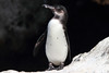 Galapagos Penguin 5 by rhysmarsh