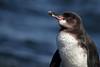 Galapagos Penguin 3 by rhysmarsh