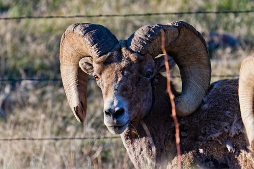 colorado bighornsheep custercounty oviscanadensis canon50d mckenziejunction frontierpathwaysscenicbyway canon70300mmf456l