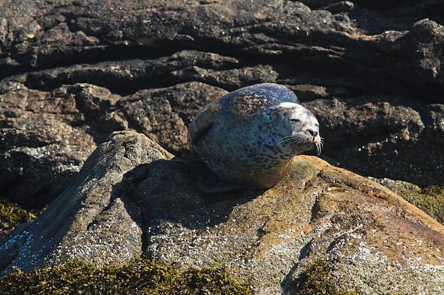 Harbor_Seal_Bass_Harbor_Maine_4803_07_23_11_resized