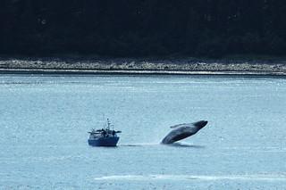 Alaska Cruise / Whale Watching (croped) | by MaxChu