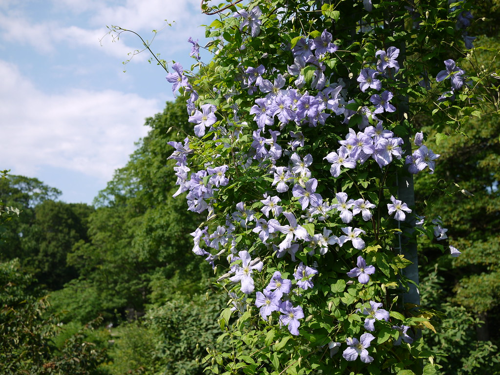 Clematis Emilia Plater | Clematis is more of a vine, actuall… | Flickr