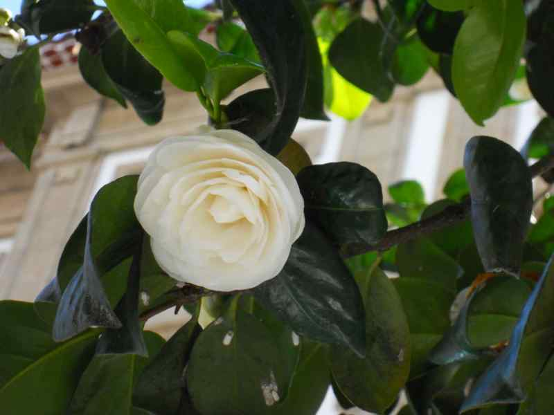 Camellia japonica 'K. Sawada' 1