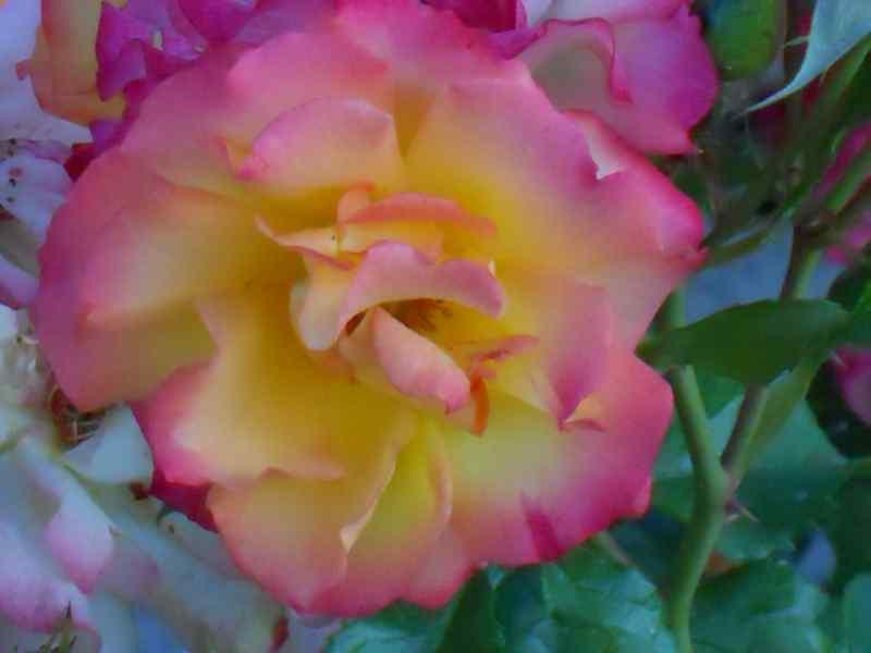 Rosa grandiflora 'Hippy' 5