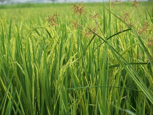 green nature field rice paddy kodak z650