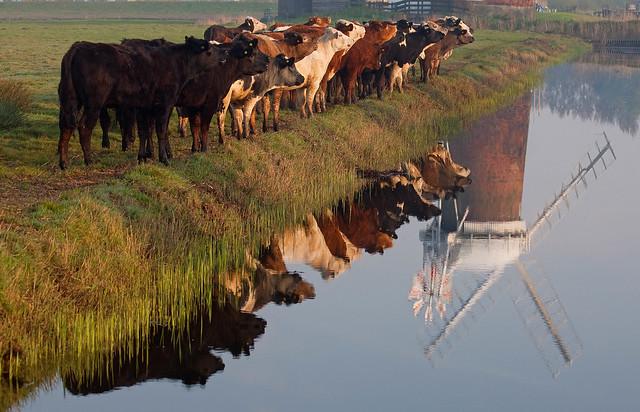 Horsey Cows