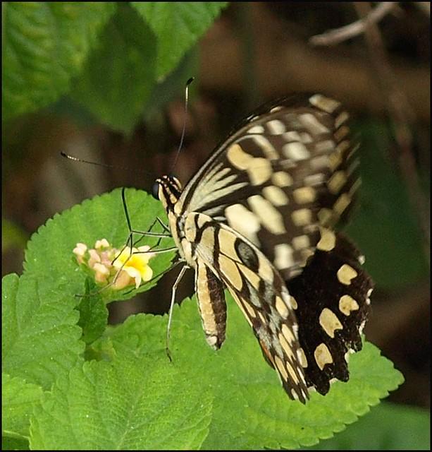 Lime Butterfly - Papilio demoleus