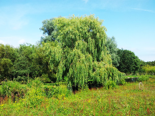 An image of a willow tree in a field © Icy Sedgwick