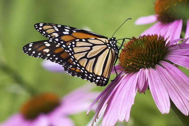 MAP3376 Leggy Monarch
