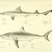 The Plagiostomia : Sharks, skates, and rays