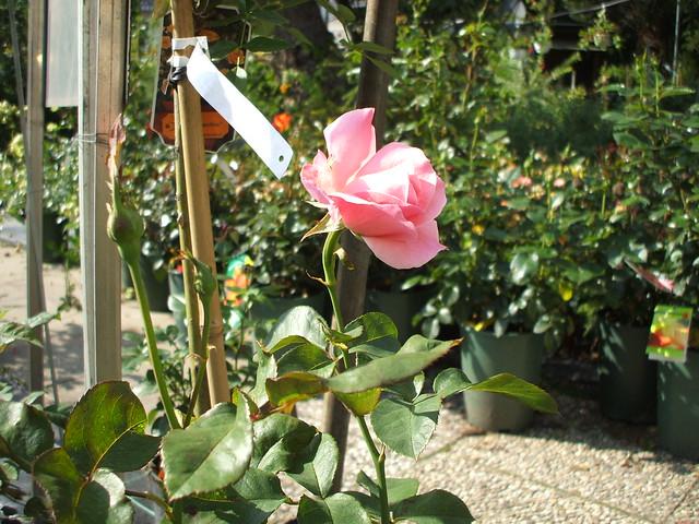 Rose: Teerosen-Hybrid 'Queen Elizabeth', 1954 0308201102