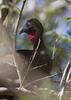 Crested Guan (Penelope purpurascens) by macronyx