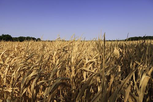 oklahoma corn cornfield drought