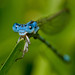 Mark Lenz - Blue Damselfly