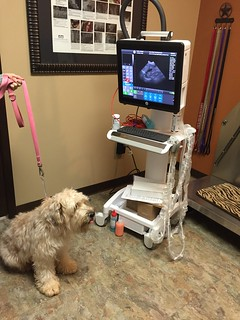 To one of my favorite Wheatons: Congratulations on your pregnancy! - Dr Pettyjohn | by Stone Ridge Veterinary Medical Center