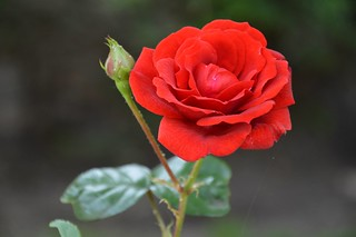 Red Rose   by K1_Camz