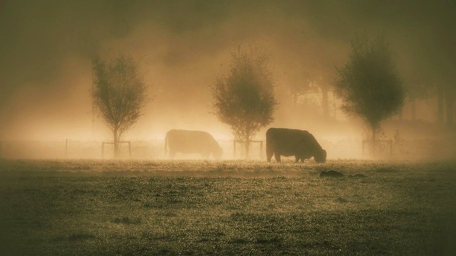 Cows in the morning fog