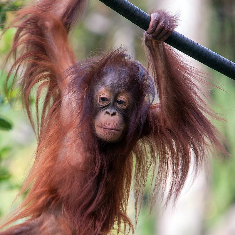Orangutan 0716 3559