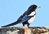 Pega-rabuda // Eurasian Magpie (Pica pica melanotos) by Valter Jacinto   Portugal