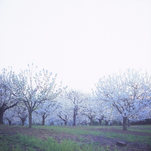 Cherry Orchard | by jakem
