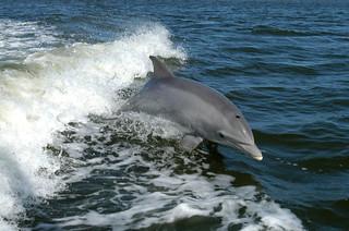 dolphin | by USFWS Headquarters