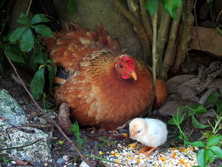 One of Marti's Hens & Her Chick | by Amy Loves Yah
