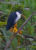 4607 Pied Heron by leehunterphotos