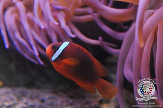 Clown fish-4 | by keywest aquarium