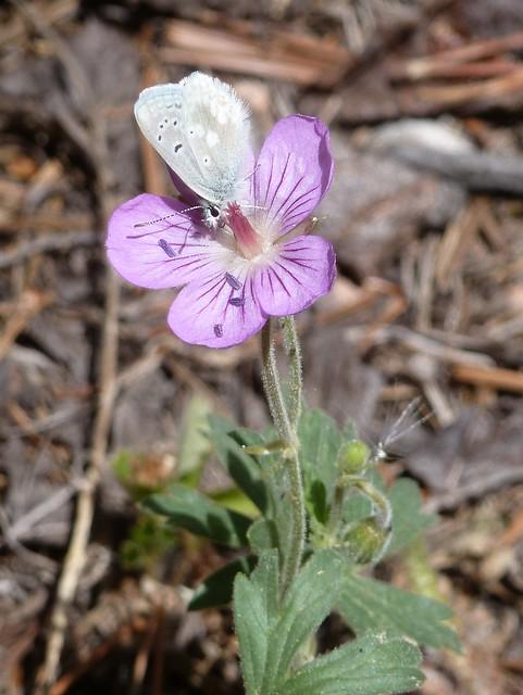 Butterfly on Geranium