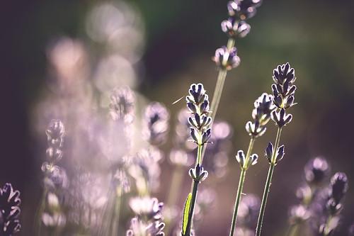 brown sun white toronto ontario canada black flower macro green closeup sunrise canon dof purple bokeh lavender sunray musicgarden alienskin morningdewphotography t1i ef100l