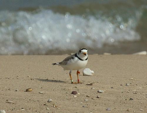 bird nature michigan pipingplover endangeredspecies shorebird charadriusmelodus wildernessstatepark