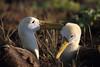 Waved Albatross Courtship by rhysmarsh