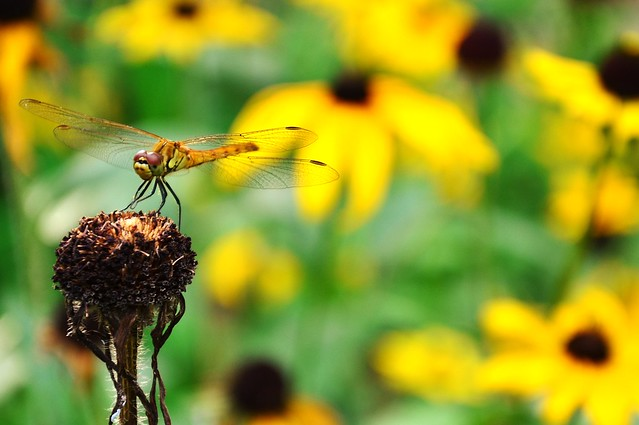 Dragonfly in Yellow