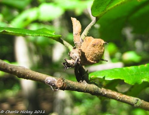 al pennsylvania shrub berkscounty witchhazel hamamelisvirginiana hawkmountain saxifragales hamamelidaceae k208 rb487
