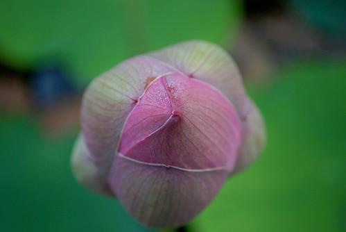 morning flower japan sunrise lotus aomori 日本 花 青森 朝 蓮 猿賀神社