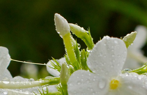 flowers white macro nature raw kingdom raindrops fragile homegarden 50mm114 excapture canoneos550d