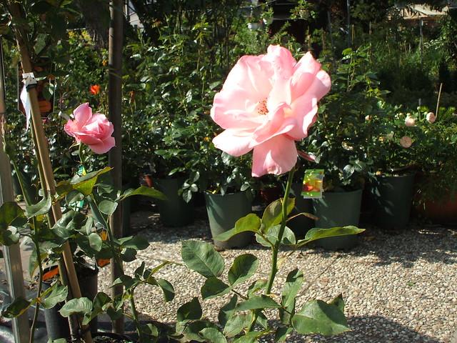 Rose: Teerosen-Hybrid 'Queen Elizabeth', 1954 0308201101