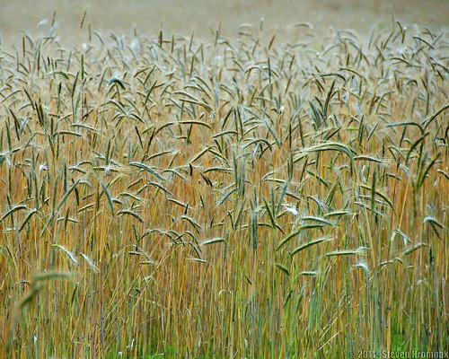 gold wheat grasses wheatfield nikon18200mm summergold