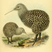 Ornithological miscellany V.1