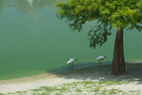 lake green bird beach water pond florida ibis avian