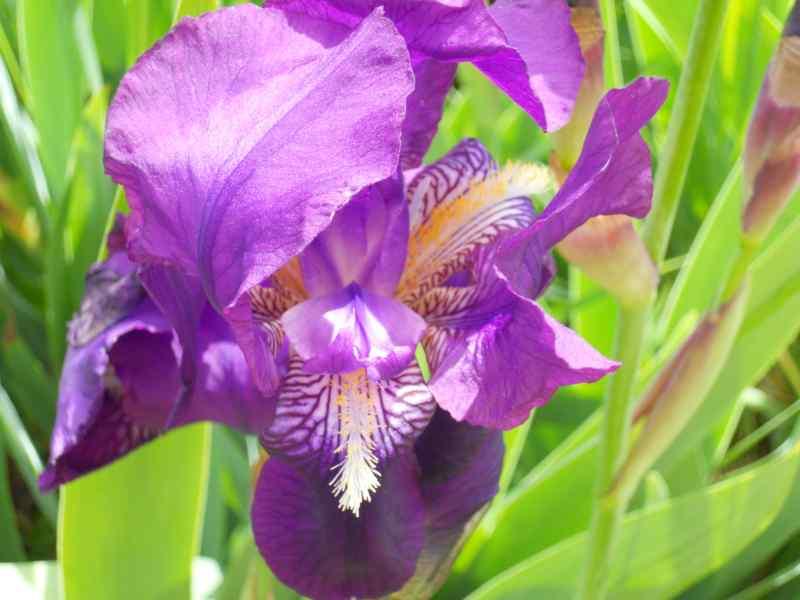 Iris germanica 2