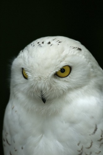 Snow owl | by jk-photos